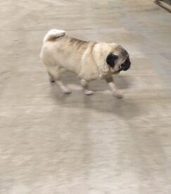 Pug bitch
