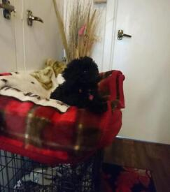 Toy poodle male kc registered