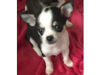 Stunning chihuahua puppies for sale