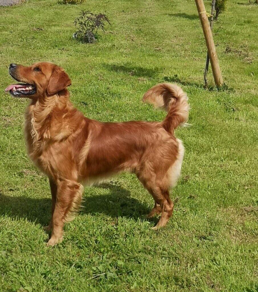 Golden Retriever X Labrador Puppies. Ready Now!