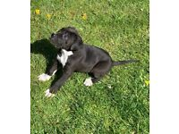 9 WEEKS OLD CANE CORSO
