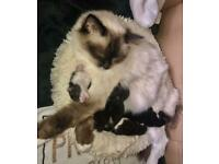 Half ragdoll kittens