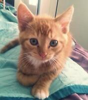 10 week old orange male kitten with white paws.