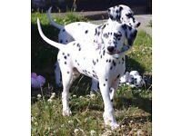 Dalmatian Puppies KC reg