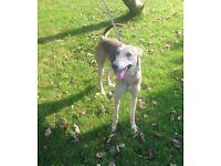 Greyhound 2 years old