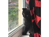 Scottis.h. F.o.l.d kitten for sale