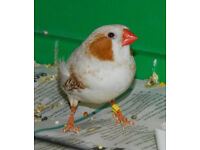 zebra finches for rehoming.