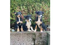 Stunning border collie x Kelpie puppies