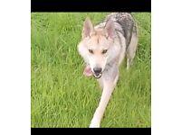 Puppies Stunning saarloos/husky/german shepherd puppies