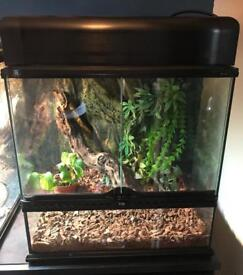Female Crested Gecko and Complete Set Up