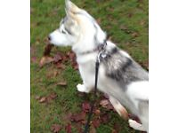 Siberian Husky female for sale