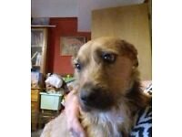 Good Home Needed Male English Border terrier jack russel.
