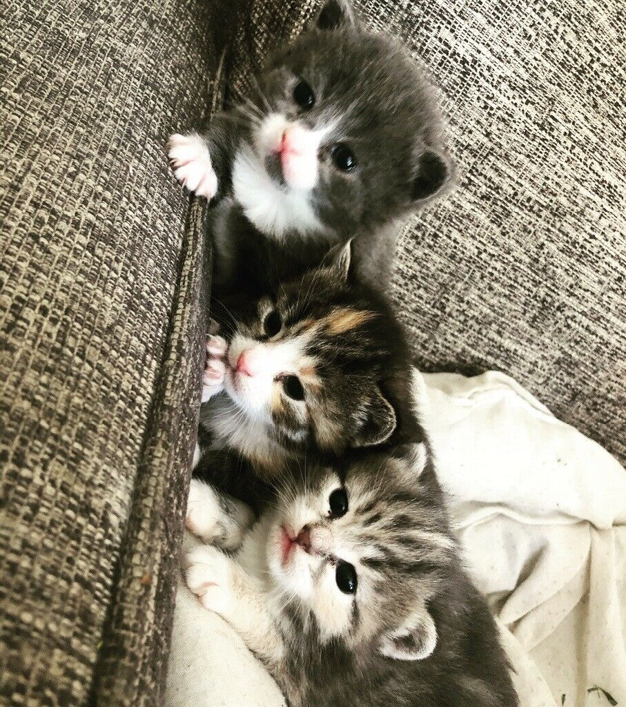 Ragdoll X Kittens For Sale In Southsea Hampshire Gumtree
