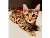 female bengal kitten