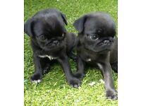 Pug Puppy.... Looking for their Forever Loving Home....2 girls left..