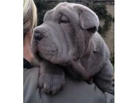 ❤️ # fully vacinated shar pei pups ready for there new home1 blue boy left and 1 black boy left ❤️#