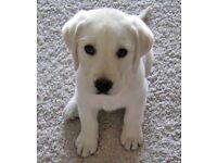 Lovely chunky labrador pups