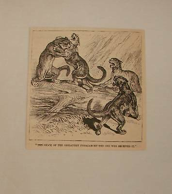 1884 magazine engraving ~ FIGHTING COUGARS