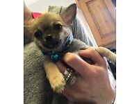 Tiny male chihuahua puppy 0.8kg. £500. No offers.