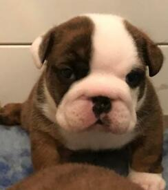 Ready now, show quality Bulldog pups, 1 female & 1 Male for sale