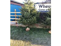 Real Christmas trees from 5ft to 10ft free delivery