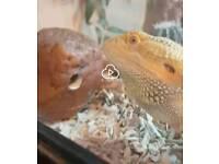 Bearded dragon morph with huge vivarium viv