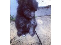 Beautiful little teddy bear poodle puppy