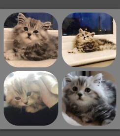 Need a gorgeous Female Cat to mate with my gorgeous Silver British Longhair
