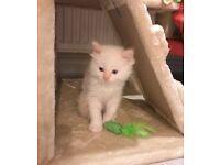 Gorgeous Pure Ragdoll Stunning Kitten (Last One)