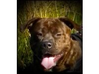 Stunning 17 Month old American Bullweiller Bitch. Great with family of 5 kids & other dog.