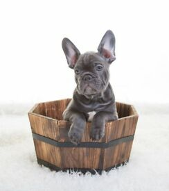 french bulldog ready now (Nate)