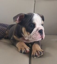 British bulldog boy Blue and tan