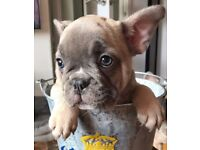 beautiful puppy blue fawn french bulldog girl