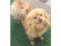 Female fox pomeranian for sale 2 years