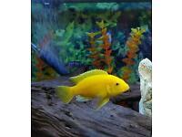"""Brilliant Yellow"" Labidochromis caeruleus"