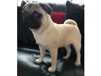male pugs 7 months old