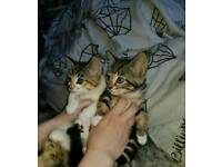 Beautiful bengal cross female kittens