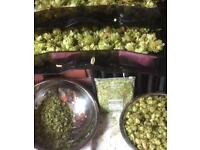 Dried Hops 25g - 100g Opal Smargd or Omega - Multiple Bags Available