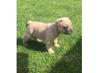 Mini bulldogs for sale