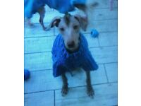 Peruvian Inca Orchid/hairless dog(Mexican hairless xolo, Chinese crested puppy for sale to 5* home