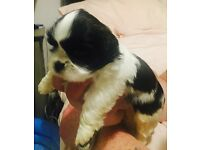 Pedigree shih tzu puppies 2 gorgeous extra fluffy boys left from a litter of 5 ready 21st August