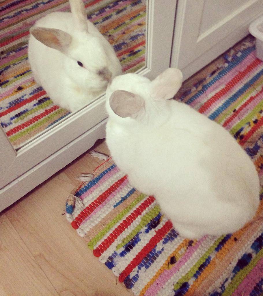 Lovely white male bunny rabbit to be re homed. neutered