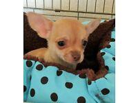 Chihuahua Small Boy