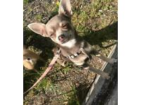 Very rare lilac pedigree chihuahua juniors for sale