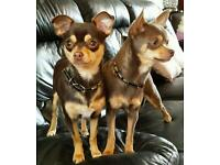 Two Chihuahua kc r girls lilac and chocolate for sale