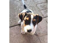 dachshund x jack russells