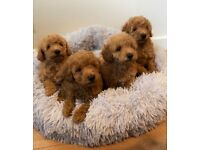 Ready Now CAVAPOO stunning RED and MERLE puppies puppy bitch dog Cavalier Toy poodle PRA