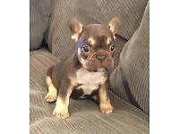 Absolutely stunning litter of lilac and tan, lilacs , choc and tan French bulldogs.