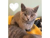 Beautiful female British Shorthair kittens