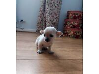 Gorgeous Chihuahua Puppies for Sale